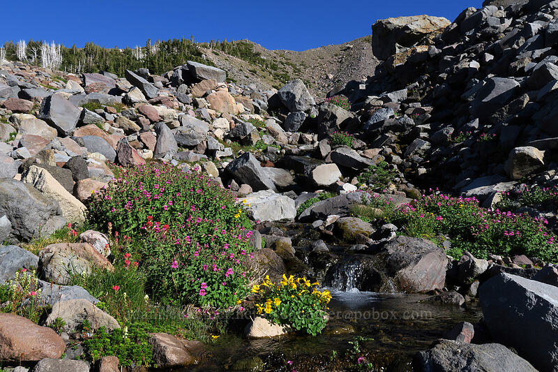 Lewis' monkeyflower & large mountain monkeyflower (Erythranthe lewisii (Mimulus lewisii),Erythranthe tilingii (Mimulus tilingii)) [Elk Cove, Mt. Hood Wilderness, Oregon]