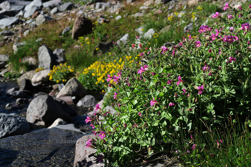 Lewis' monkeyflower & large mountain monkeyflower (Erythranthe lewisii (Mimulus lewisii),Erythranthe tilingii (Mimulus tilingii)) [Elk Cove, Mt. Hood Wilderness, Oregon]