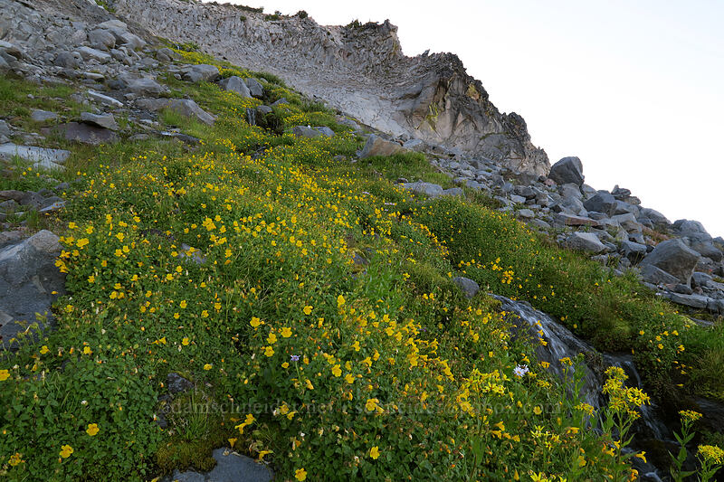 large mountain (Tiling's) monkeyflower (Erythranthe tilingii (Mimulus tilingii)) [Elk Cove, Mt. Hood Wilderness, Oregon]