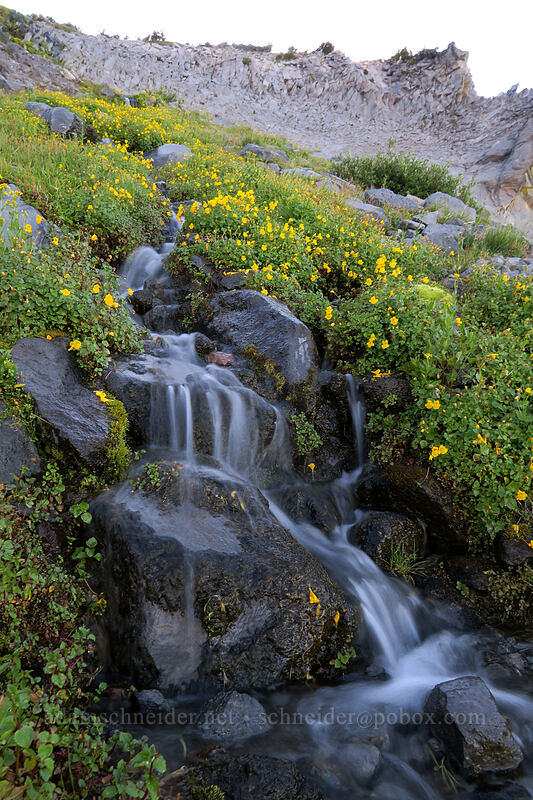 monkeyflower & cascades (Erythranthe tilingii (Mimulus tilingii)) [Elk Cove, Mt. Hood Wilderness, Oregon]