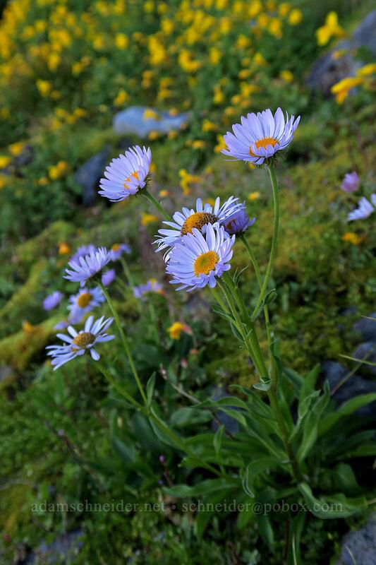 fleabane & monkeyflower (Erigeron glacialis, Erythranthe tilingii (Mimulus tilingii)) [Elk Cove, Mt. Hood Wilderness, Oregon]