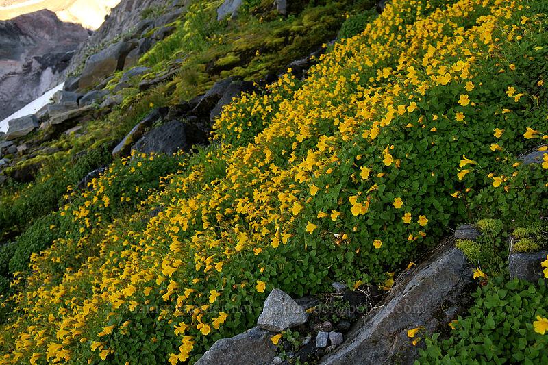 large mountain (Tiling's) monkeyflower (Erythranthe tilingii (Mimulus tilingii)) [Elk Cove, Mt. Hood Wilderness, Oregon]