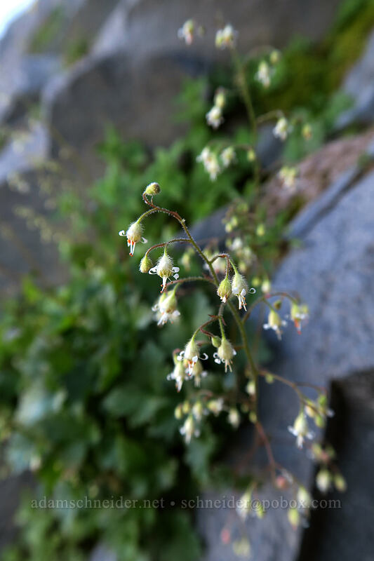 alpine alumroot (Heuchera glabra) [Elk Cove, Mt. Hood Wilderness, Oregon]