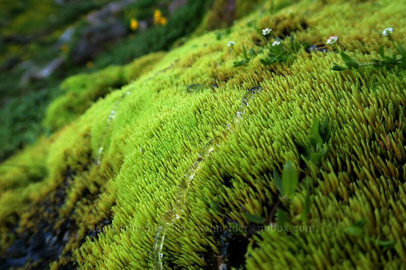 water drops on moss [Elk Cove, Mt. Hood Wilderness, Oregon]