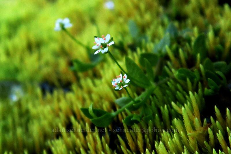 curled starwort (Stellaria crispa) [Elk Cove, Mt. Hood Wilderness, Oregon]