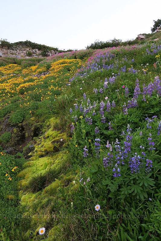 wildflowers (Lupinus latifolius, Erythranthe tilingii (Mimulus tilingii),Erythranthe lewisii (Mimulus lewisii),Erigeron glacialis) [Elk Cove, Mt. Hood Wilderness, Oregon]