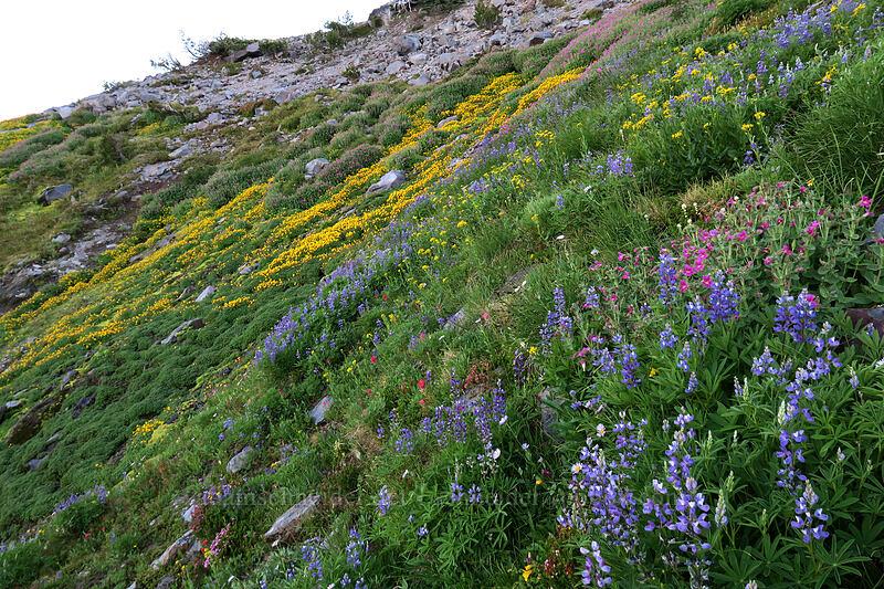 wildflowers (Lupinus latifolius,Erythranthe tilingii (Mimulus tilingii),Erythranthe lewisii (Mimulus lewisii),Senecio triangularis,Castilleja parviflora var. oreopola,Erigeron glacialis) [Elk Cove, Mt. Hood Wilderness, Oregon]