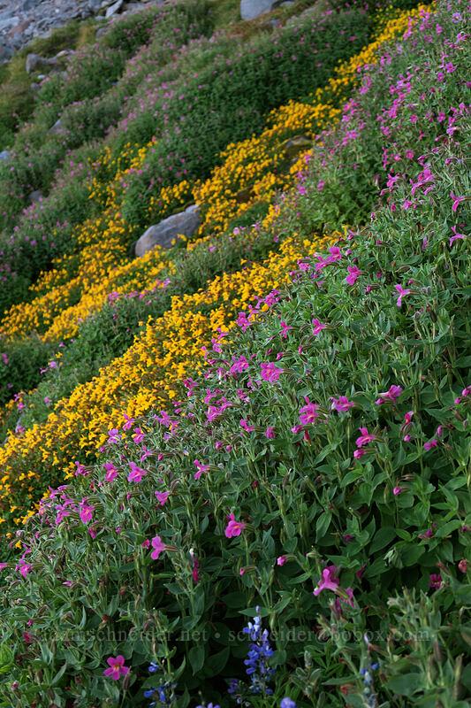 monkeyflower (Erythranthe tilingii (Mimulus tilingii),Erythranthe lewisii (Mimulus lewisii)) [Elk Cove, Mt. Hood Wilderness, Oregon]