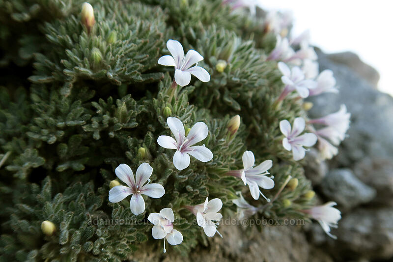 talus collomia (Collomia larsenii) [Elk Cove, Mt. Hood Wilderness, Oregon]