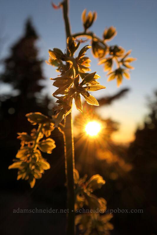 corn-lily flowers, backlit (Veratrum viride) [above Elk Cove, Mt. Hood Wilderness, Oregon]
