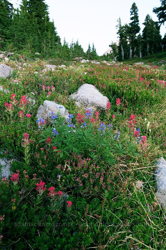 twilight paintbrush & lupines (Castilleja parviflora var. oreopola,Lupinus latifolius) [Timberline Trail, Mt. Hood Wilderness, Oregon]