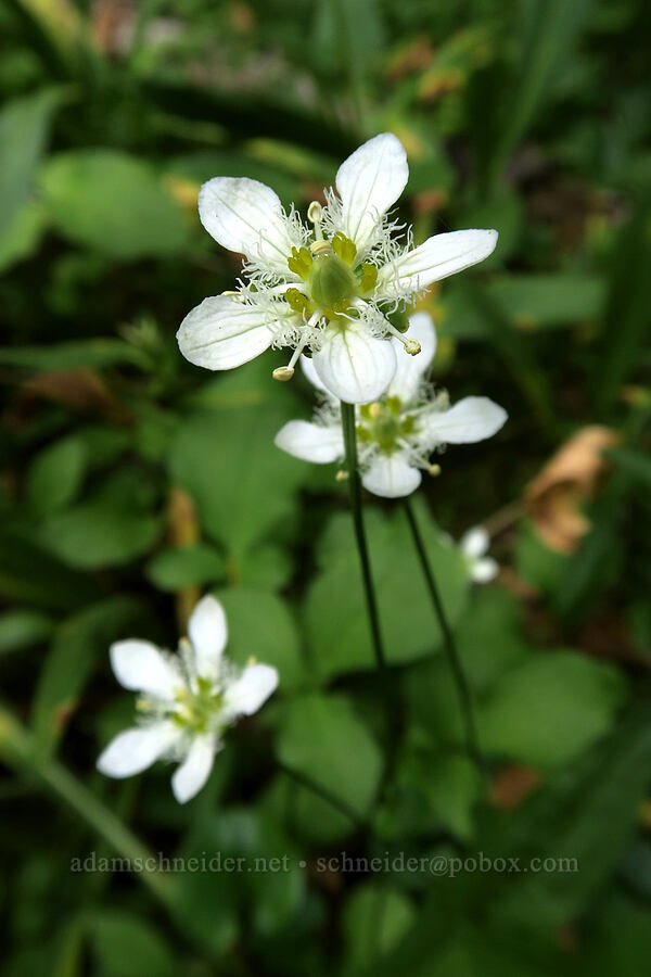 grass-of-Parnassus (Parnassia fimbriata) [Colchuck Lake Trail, Alpine Lakes Wilderness, Washington]