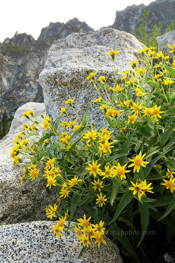 lance-leaf arnica (Arnica lanceolata ssp. prima (Arnica amplexicaulis)) [below Aasgard Pass, Alpine Lakes Wilderness, Washington]