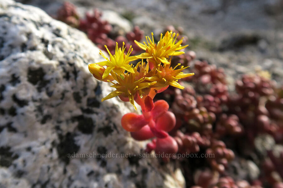 spreading stonecrop (Sedum divergens) [below Aasgard Pass, Alpine Lakes Wilderness, Washington]