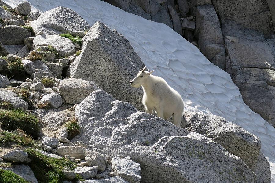 mountain goat (Oreamnos americanus) [below Aasgard Pass, Alpine Lakes Wilderness, Washington]