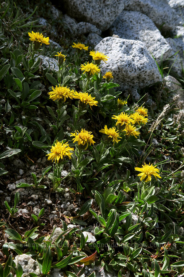 Lyall's goldenweed (Tonestus lyallii (Haplopappus lyallii)) [below Aasgard Pass, Alpine Lakes Wilderness, Washington]