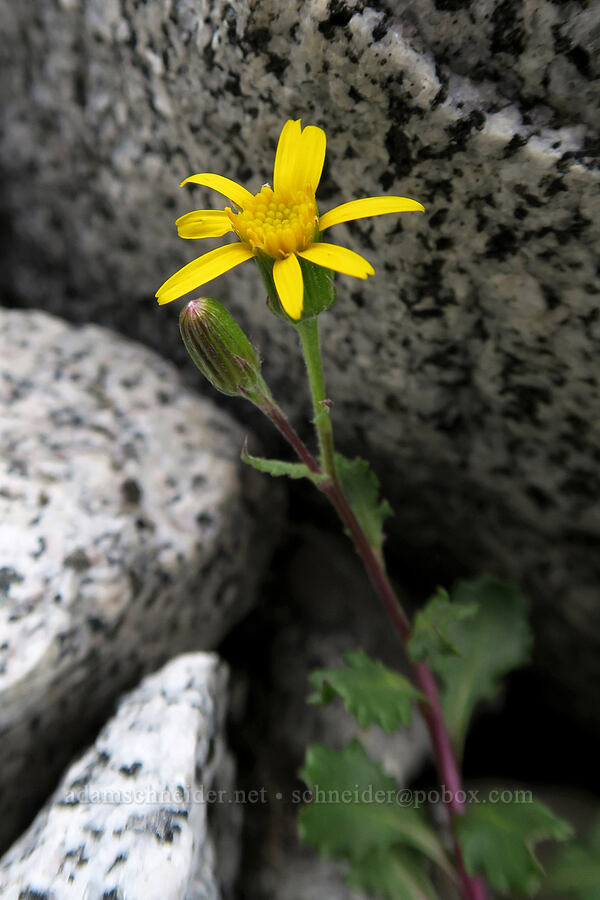 dwarf mountain ragwort/groundsel (Senecio fremontii) [Aasgard Pass, Alpine Lakes Wilderness, Washington]