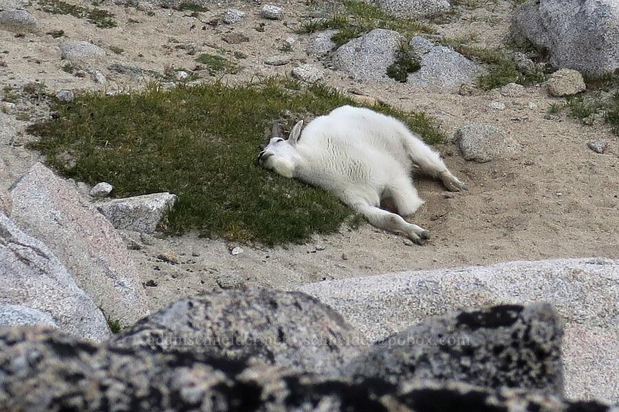 mountain goat, wallowing (Oreamnos americanus) [Aasgard Pass, Alpine Lakes Wilderness, Washington]