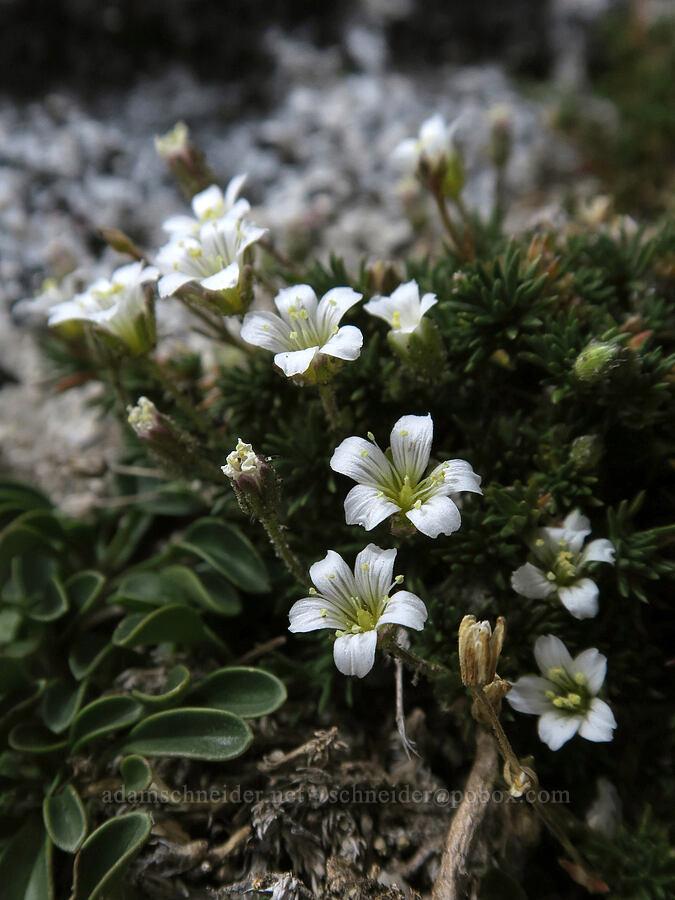 alpine sandwort (Minuartia obtusiloba (Arenaria obtusiloba)) [Aasgard Pass, Alpine Lakes Wilderness, Washington]