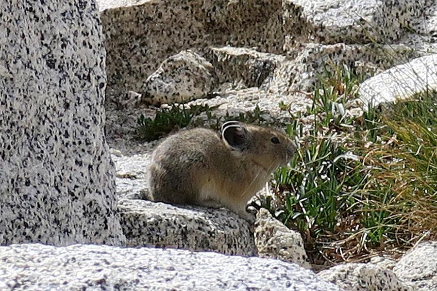 pika (Ochotona princeps) [Snow Lakes Trail, Alpine Lakes Wilderness, Washington]