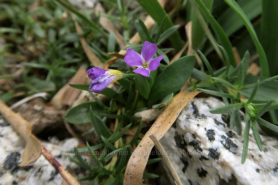 Lyall's rock-cress (Boechera lyallii (Arabis lyallii)) [Snow Lakes Trail, Alpine Lakes Wilderness, Washington]