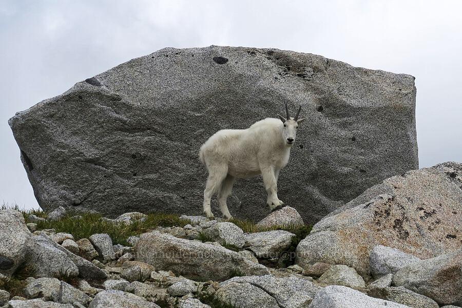 mountain goat (Oreamnos americanus) [Snow Lakes Trail, Alpine Lakes Wilderness, Washington]