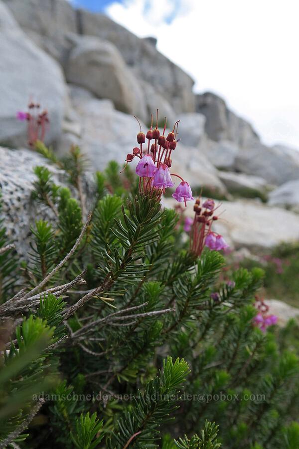 pink mountain heather (Phyllodoce empetriformis) [Snow Lakes Trail, Alpine Lakes Wilderness, Washington]