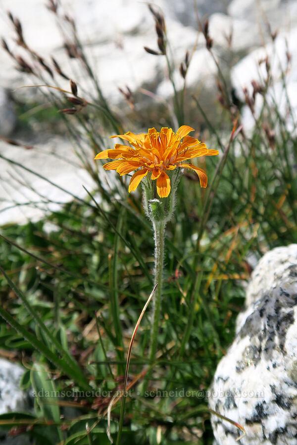 orange agoseris (Agoseris aurantiaca) [Snow Lakes Trail, Alpine Lakes Wilderness, Washington]