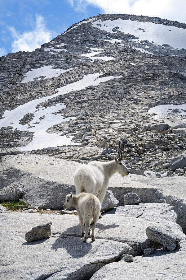 mountain goats (Oreamnos americanus) [Snow Lakes Trail, Alpine Lakes Wilderness, Washington]