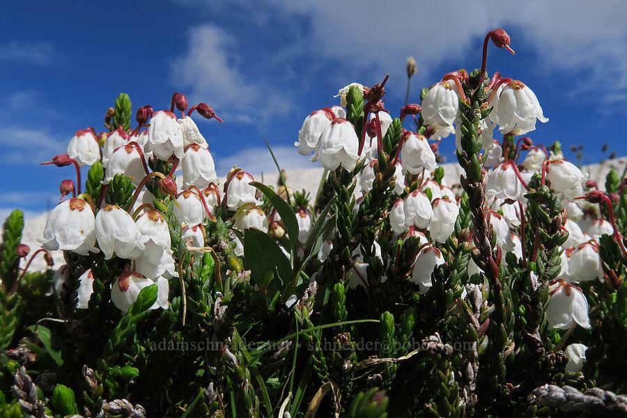 white mountain heather (Cassiope mertensiana) [Snow Lakes Trail, Alpine Lakes Wilderness, Washington]