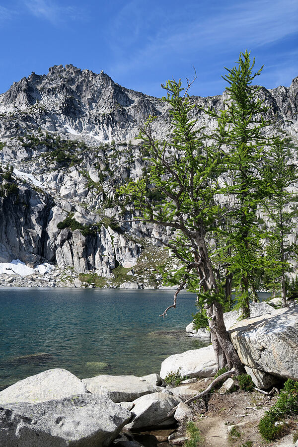 larch trees & Inspiration Lake (Larix lyallii) [Snow Lakes Trail, Alpine Lakes Wilderness, Washington]