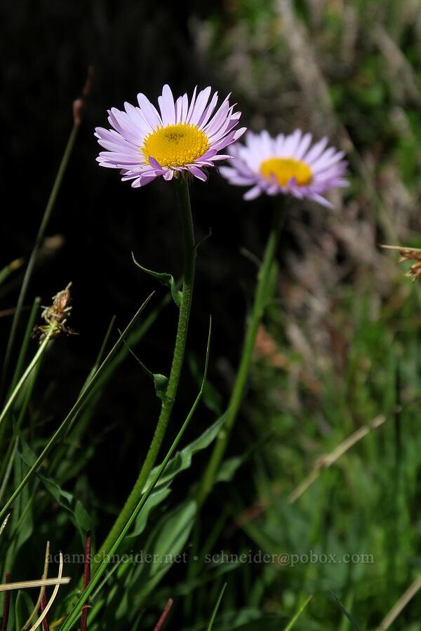 subalpine fleabane (Erigeron glacialis) [Snow Lakes Trail, Alpine Lakes Wilderness, Washington]