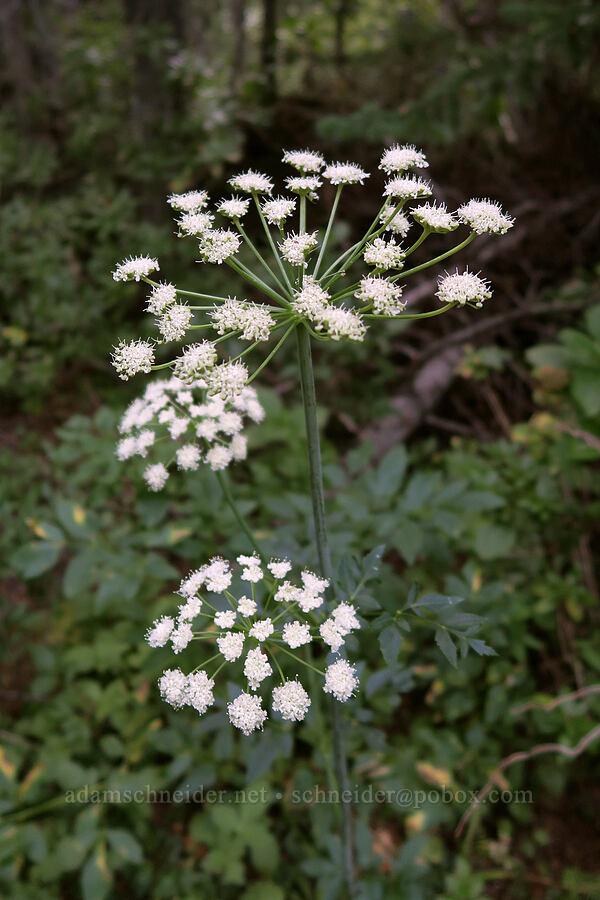 sharp-tooth angelica (Angelica arguta) [Snow Lakes Trail, Alpine Lakes Wilderness, Washington]