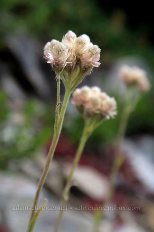 rosy pussy-toes (Antennaria rosea) [Pacific Crest Trail, Okanogan-Wenatchee National Forest, Washington]