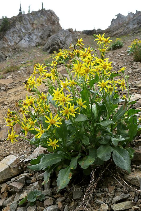 Elmer's butterweed/ragwort (Senecio elmeri) [Pacific Crest Trail, Okanogan-Wenatchee National Forest, Washington]