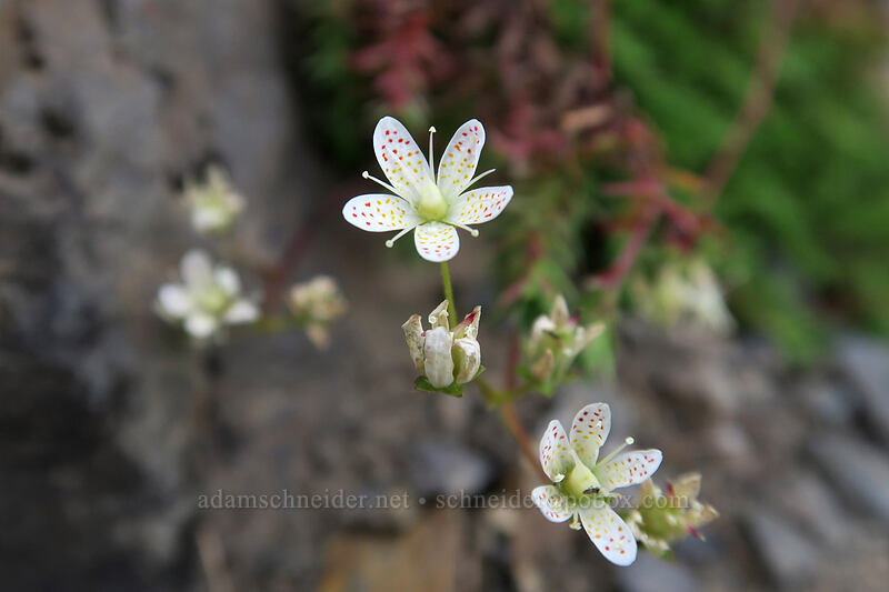 spotted saxifrage (Saxifraga bronchialis var. austromontana) [Pacific Crest Trail, Okanogan-Wenatchee National Forest, Washington]