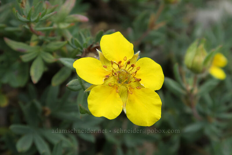 shrubby cinquefoil (Dasiphora fruticosa (Potentilla fruticosa)) [Pacific Crest Trail, Okanogan-Wenatchee National Forest, Washington]