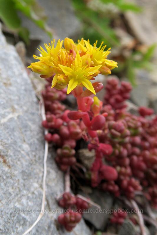 spreading stonecrop (Sedum divergens) [Pacific Crest Trail, Okanogan-Wenatchee National Forest, Washington]