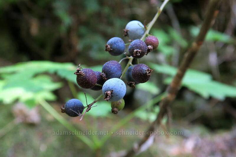 maple-leaf currant fruit (Ribes acerifolium (Ribes howellii)) [Cascade Pass Trail, North Cascades National Park, Washington]