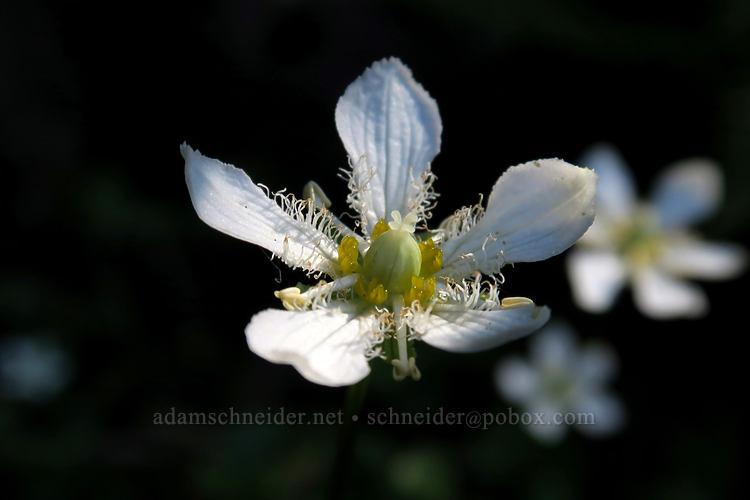 grass-of-Parnassus (Parnassia fimbriata) [Cascade Pass Trail, North Cascades National Park, Washington]