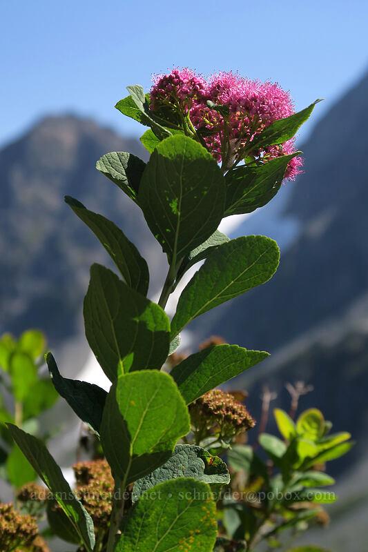 subalpine spirea (Spiraea splendens (Spiraea densiflora)) [Sahale Arm Trail, North Cascades National Park, Washington]