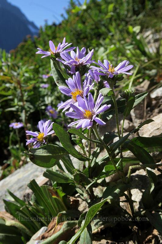 alpine leafy-bract aster (Symphyotrichum foliaceum (Aster foliaceus)) [Sahale Arm Trail, North Cascades National Park, Washington]