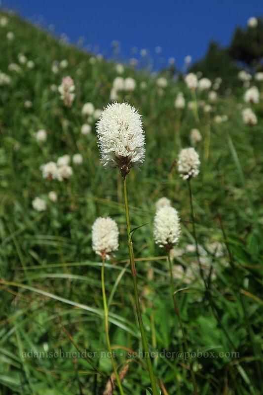 western bistort (Polygonum bistortoides (Bistorta bistortoides)) [Sahale Arm Trail, North Cascades National Park, Washington]