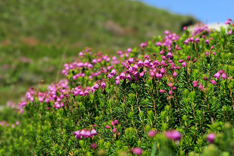 pink mountain heather (Phyllodoce empetriformis) [Sahale Arm Trail, North Cascades National Park, Washington]