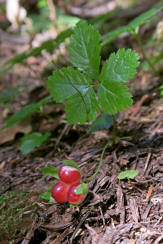 strawberry-leaf bramble/raspberry (Rubus pedatus) [Cascade Pass Trail, North Cascades National Park, Washington]