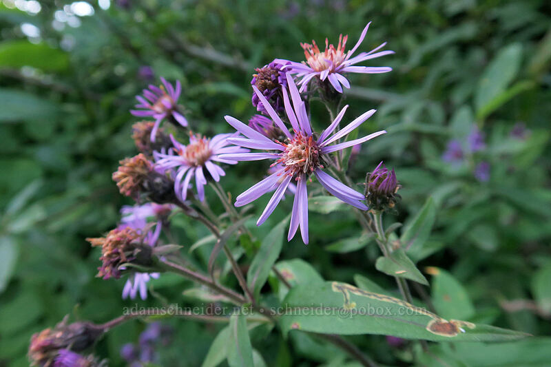 great northern aster (Canadanthus modestus (Aster modestus)) [Cascade River Road, North Cascades National Park, Washington]