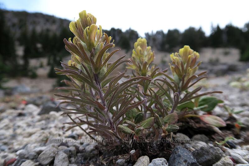 cobwebby paintbrush (Castilleja arachnoidea) [Broken Top climber's trail, Three Sisters Wilderness, Oregon]