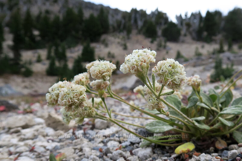 alpine buckwheat (Eriogonum pyrolifolium) [Broken Top climber's trail, Three Sisters Wilderness, Oregon]