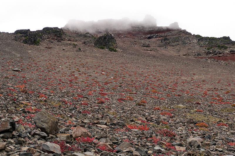 cloud-covered summit block & knotweed leaves (Aconogonon davisiae (Polygonum newberryi)) [west side of Broken Top, Three Sisters Wilderness, Oregon]