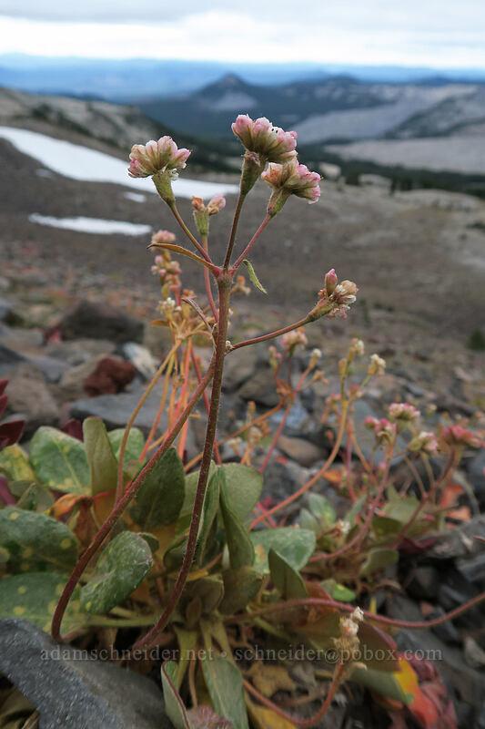 alpine buckwheat (Eriogonum pyrolifolium) [west side of Broken Top, Three Sisters Wilderness, Oregon]